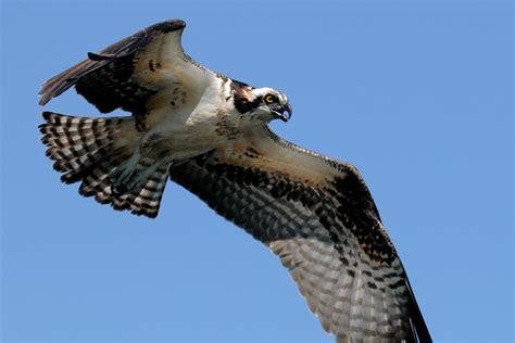 Images Of Osprey Osprey Photography