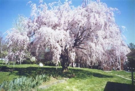weeping cheery tree dwarf weeping cherry tree pictures rynakimley