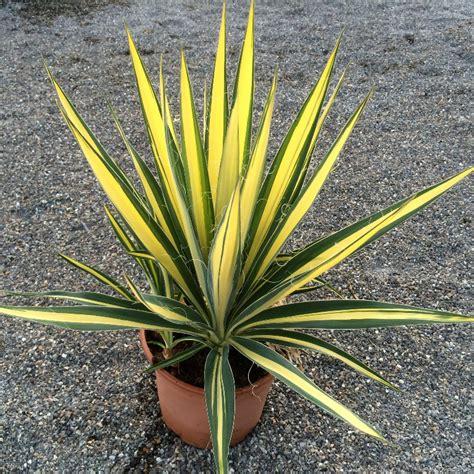 yucca palme winterhart agave winterhart yucca winterhart palme winterhart in salem handwerk hausbau garten
