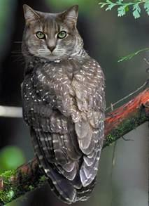 owl cat owl cat by magicapra on deviantart