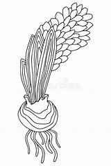 Hyacinth Bulb sketch template