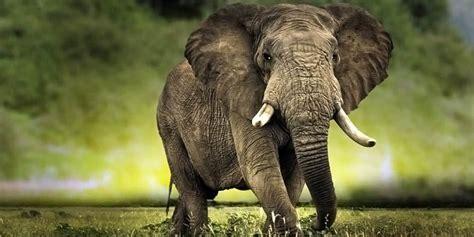 african bush elephant loxodonta africana dinoanimalscom