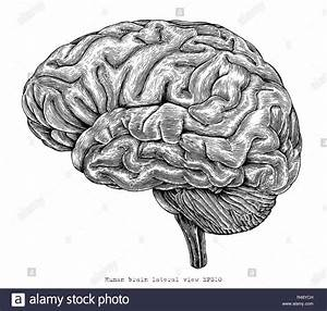 Lateral View Of The Brain Diagram