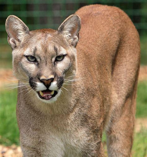picture carnivore cat fur lion mammal nature