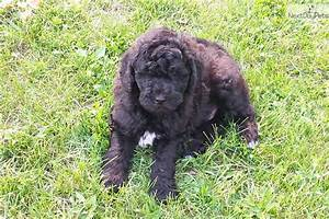 Shepadoodle puppy for sale near Ann Arbor, Michigan ...