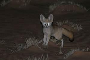 Fennec Fox - ThingLink