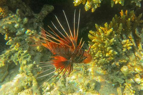 lionfish pterois common volitans underwater specific hunting surface below shot shallow radiata rays lit sun sea water macro between