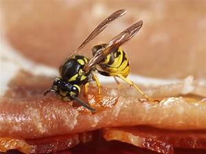 Welchen Geruch Mögen Wespen Nicht : wespen vertreiben mit welchen hausmitteln apotheken ~ Articles-book.com Haus und Dekorationen