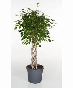 Ficus Benjamini Vermehren : achetez maintenant une plante d int rieur ficus benjamina ~ Lizthompson.info Haus und Dekorationen