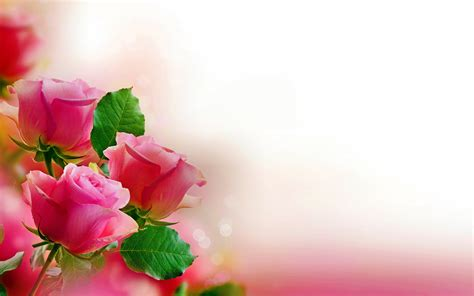 Rose flower background images clipart