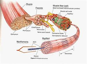 More Facts About Massage  U0026 The Structure Of A Muscle