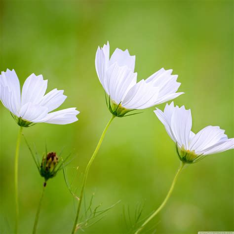 Browse the biggest collection of high resolution flower wallpaper photos on pngtree. White Cosmos Beautiful Flowers - Cool HD Wallpapers Backgrounds Desktop, iphone & Android Free ...