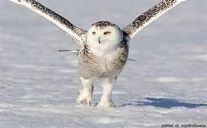 Tundra Animals такая снежная полярная сова 11 фото картинки фото