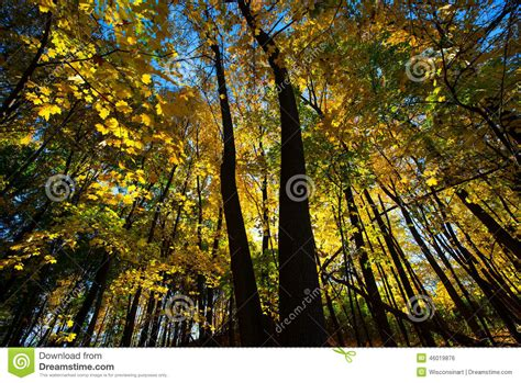trees that turn yellow in fall fall autumn colors maple tree yellow leaves stock photo image 46019876