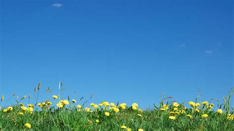 Dandelions Under Bright Blue Sky  Wallpaper #32171