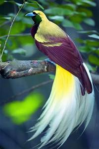 LESSER BIRD OF PARADISE (male) (Paradisaea minor) The ...