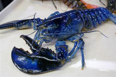 restaurant donates rare lobster  honor blues stanley