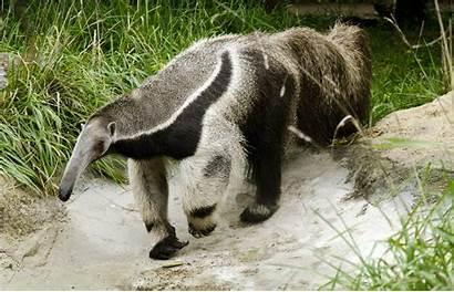 Anteater Giant Zoo Animal