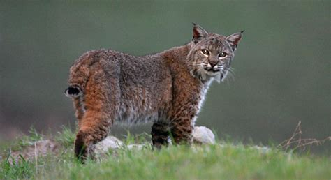 basic facts  bobcats defenders  wildlife