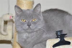 scottish fold cats for scottish fold kitten s for peterborough
