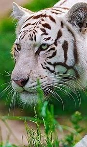 Download Free Android Wallpaper White Tiger - 4114 ...