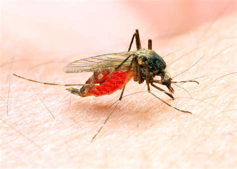 what is about mosquitoes why are mosquitoes more attracted to some people than others