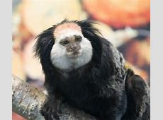 Chattanooga Zoo opens new exhibit with colorful tamarins