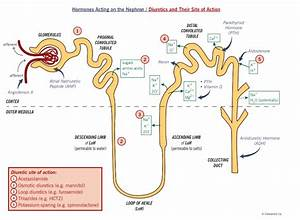 Renal Physiology At Georgia Regents University