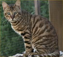tiger cat breed toyger pictures information grooming and kittens