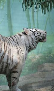 White Tiger Wallpaper 4K - Weisser Tiger 4k Hd Desktop ...