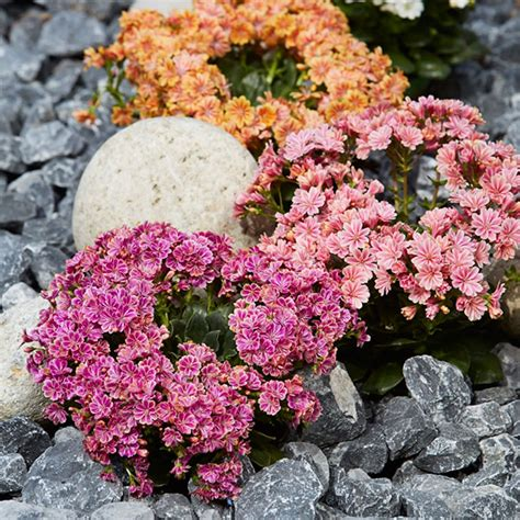 pflanzen für kiesbeet gr 252 n erleben im fr 252 hjahr im kiesbeet