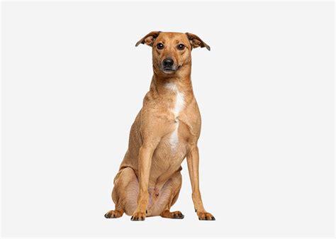 Europetnet - Carolina Dog