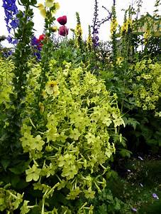 Nicotiana alata 'Lime Green' - Buy Online at Annie's Annuals