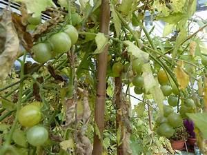 Grüne Tomaten Nachreifen : gr ne tomaten nachreifen lassen ~ Lizthompson.info Haus und Dekorationen