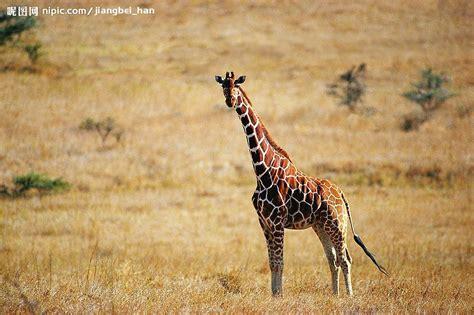 长颈鹿摄影图__野生动物_生物世界_摄影图库_昵图网nipic.com