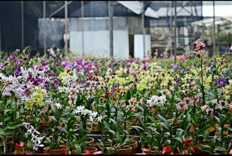 jual tanaman hias bunga anggrek bulan pilih warna pot