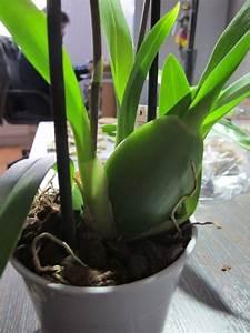 Quand Planter Le Muguet : bulbe orchidee l 39 atelier des fleurs ~ Melissatoandfro.com Idées de Décoration