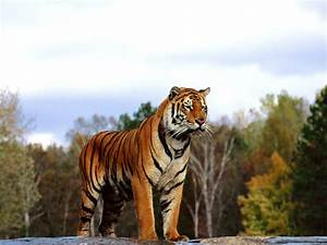 Bengal Tiger HD Wallpapers