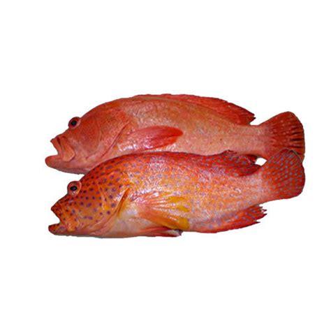 grouper fish hr frozen indiamart