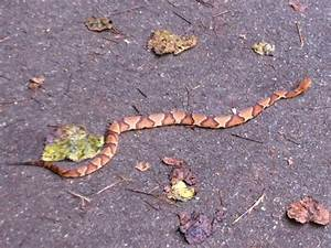 Florida Snake Photograph - A baby copperhead crossing the ...