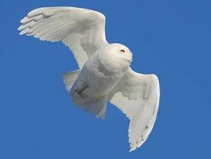 Snowy Owl, Identification, All About Birds - Cornell Lab ...