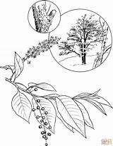Cherry Coloring Blossom Pages Wild Drawing Tree Rum Step Printable Clipart Blossoms Clip sketch template