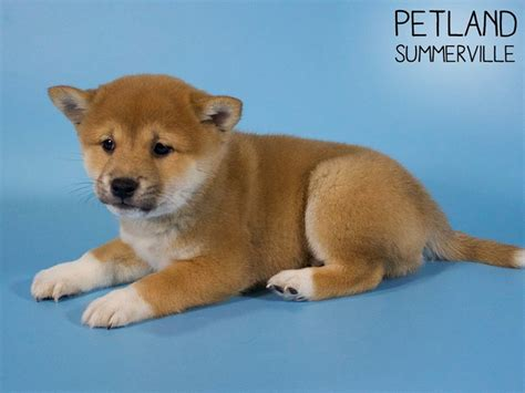 6xresearch source both tail types curl towards the recognize the dog's fur color. Shiba Inu-DOG-Male-Red Sesame-2805594-Petland Summerville