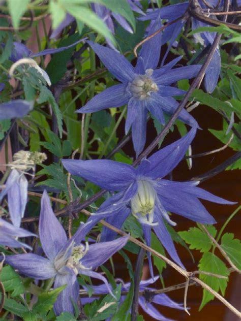 Clematis Große Blüten by Familie Kaltwasser
