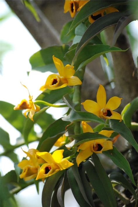 orchids  north east india