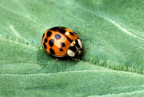 asian beetles file asian multicolored lady beetle jpg wikimedia commons