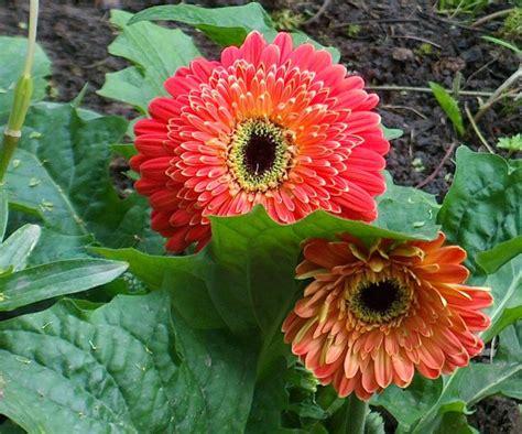 Gerbera Im Garten Foto & Bild