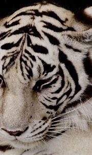 White Tiger | White tiger, Animals beautiful, Animals wild