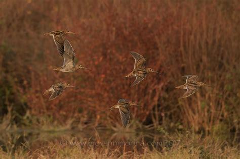 uccelli non volanti beccaccini volanti juzaphoto