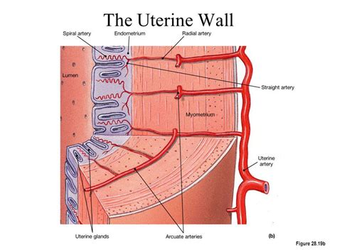 Shedding Of Uterine Lining After Menopause by Anatomy Organ Pictures Images Collection Uterine Wall